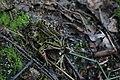 Teichfrosch Pelophylax esculentus 7718.jpg