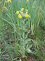 Tephroseris palustris kz01.jpg