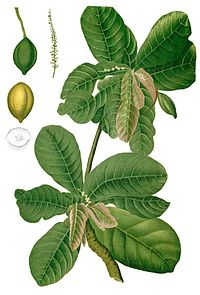 Terminalia catappa Blanco1.144-cropped