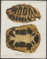 Testudo graeca - schild - 1700-1880 - Print - Iconographia Zoologica - Special Collections University of Amsterdam - UBA01 IZ11600013.tif