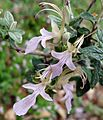 Teucrium fruiticans. Tree Germander Lamiaceae - Flickr - gailhampshire.jpg