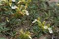 Teucrium montanum bois-gouverne-malade-pommiers 02 18072008 04.jpg