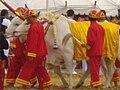 Thai Royal Ploughing Ceremony 2009 - royal oxen 1.jpg