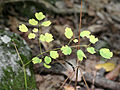 Thalictrum thalictroides SCA-7652.jpg