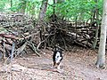 "The ""Wall"" round the Medieval Village, Thunderdell Wood, Ashridge - geograph.org.uk - 1387169.jpg"