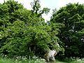 The Balmerino Sweet Chestnut (Castanea sativa).jpg