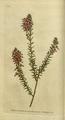 The Botanical Magazine, Plate 11 (Volume 1, 1787).png