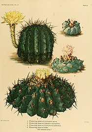 The Cactaceae (Plate X) (8569082834).jpg