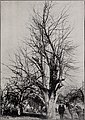 The Sudduth pear (1901) (19940245103).jpg
