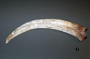 Therizinosaurus - Cast of a forelimb claw, Australian Museum