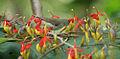 Thick-billed Flowerpecker (Dicaeum agile) on Helicteres isora W IMG 1389.jpg
