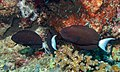 Thompson's Surgeonfishes (Acanthurus thompsoni) (8502756427).jpg