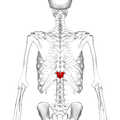 Thoracic vertebra 11 posterior.png