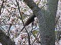 Thousand Sakura tree of Kabake river , 鹿化川 千本桜 - panoramio (8).jpg