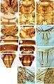 Thripinae (Thysanoptera) of Malaysia (10.3897-zookeys.810.28457) Figures 13–25.jpg