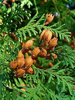 Thuja occidentalis 004.JPG