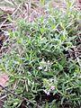 Thymus serpyllum s. str. sl4.jpg