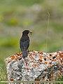 Tibetan Blackbird (Turdus maximus), Hunza, Pakistan (36333853515).jpg