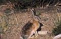 Tibetan Hare - on the banks of the Mansarovar (6115450099).jpg