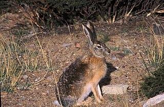 Desert hare species of mammal