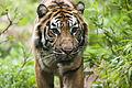 Tiger (3878235761).jpg