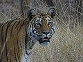 Tiger (Panthera tigris).jpg