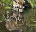 Tiger drinking water (5332575336).jpg