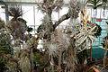 Tillandsia - Internationale Orchideen- und Tillandsienschau Blumengärten Hirschstetten 2016 a.jpg