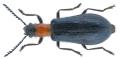 Tillus elongatus (Linnaeus, 1758).png