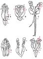 Tipos de maxilas em Eunicida (imagem modificada).png