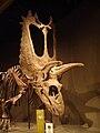 Titanoceratops SNOMNH.JPG