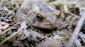 Toad, disturbed from under a rock where he was hiding from the hot sun (5979435751).png
