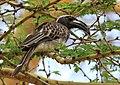 Tockus nasutus -near Crater Lake, Naivasha, Kenya -male-8.jpg