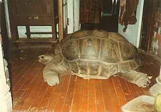 Norman Elder - Tony the tortoise, a Galapagos Island tortoise, and long-time house pet