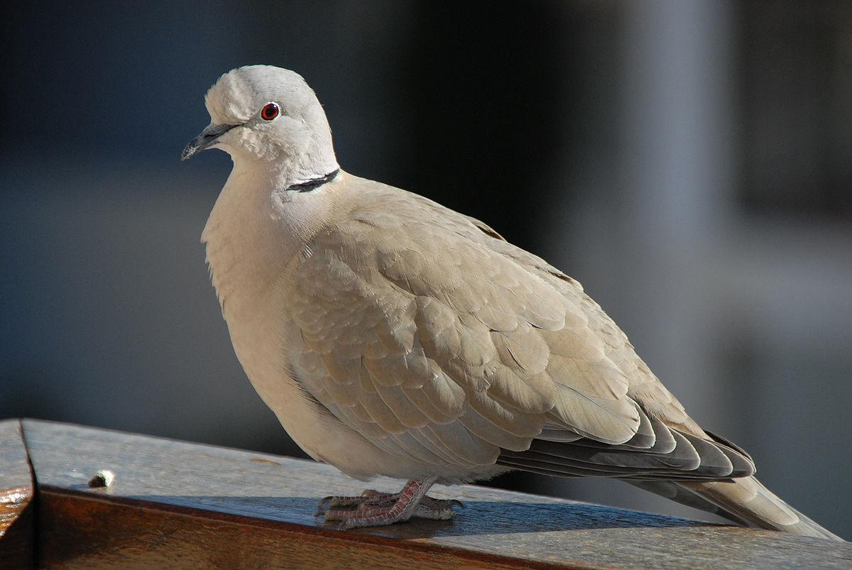 Tourterelle collier blanc