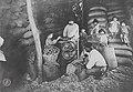 Trabajadores rurales desgranando maiz, 1904.jpg