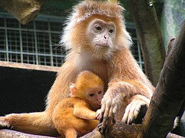 Trachypithecus auratus-Mother and baby.jpg