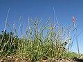 Tragus australianus plant6 NWS - Flickr - Macleay Grass Man.jpg
