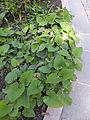 Trauttmansdorff gardens - Phlomis russeliana 03.JPG