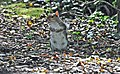 Tree Rat - Cosmeston lakes - geograph.org.uk - 1481265.jpg