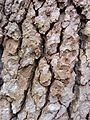 Tree bark at Fallon Park in Raleigh, North Carolina.jpg