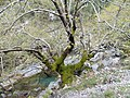 Tree covered in lichens, in a river in central Evia, Dirfi mountain.jpg