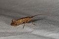 Trichoptera sp. (36368848151).jpg