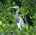 Tricoloured Heron Egretta tricolor - Flickr - gailhampshire (1).jpg