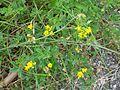 Trifolium campestre-Salzburg, Flachgau, Eugendorf-bE-HdN-1168a.jpg