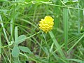 Trifolium campestre.JPG