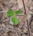 Trifolium incarnatum in Aveyron (2).jpg