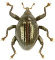 Trigonopterus oviformis holotype - ZooKeys-280-001-g058.jpg