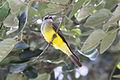 Tropical Kingbird (Tyrannus melancholicus) (8079760137).jpg