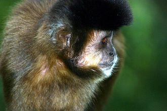 Tufted capuchin - Male tufted capuchin